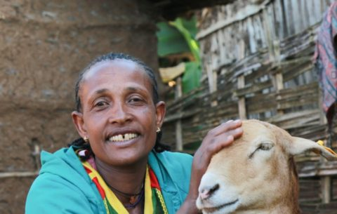 How a small Ethiopian town grew the country's best sheep, and an inspiring farmer cooperative