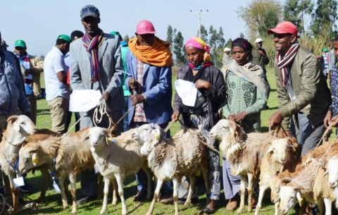 Farmers at the forefront: Community-based breeding program transforms Ethiopian lives